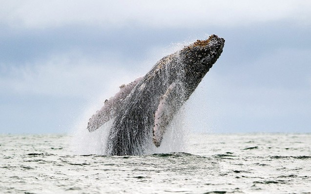 A Humpback whale jumps in the surface of the Pacific Ocean in Colombia